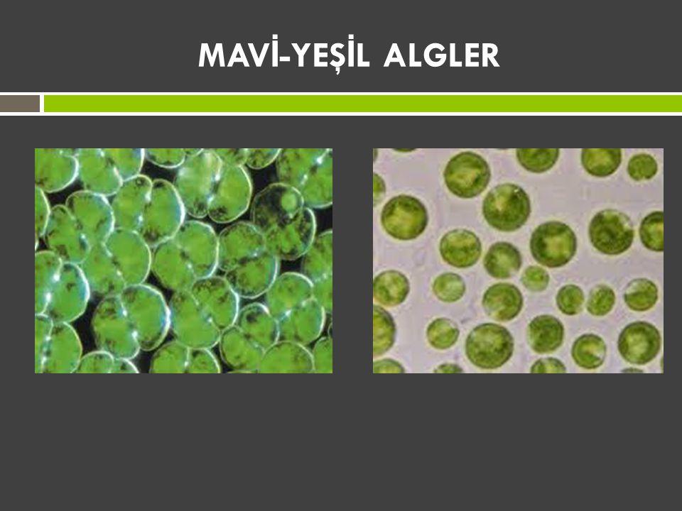 MAV İ -YEŞ İ L ALGLER