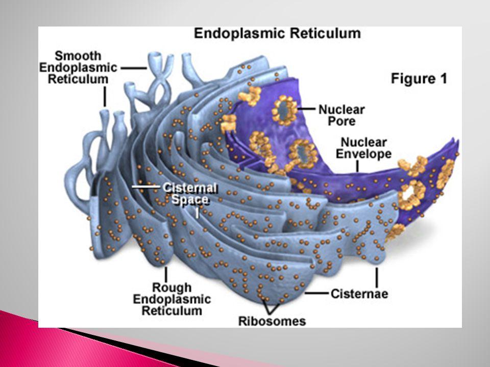 RİBOZOM:  Protein sentezini gerçekleştirir. Hem E.R.
