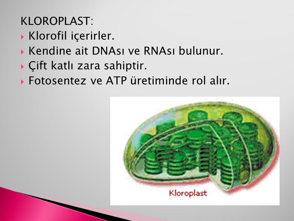 KLOROPLAST:  Klorofil içerirler.  Kendine ait DNAsı ve RNAsı bulunur.  Çift katlı zara sahiptir.  Fotosentez ve ATP üretiminde rol alır.