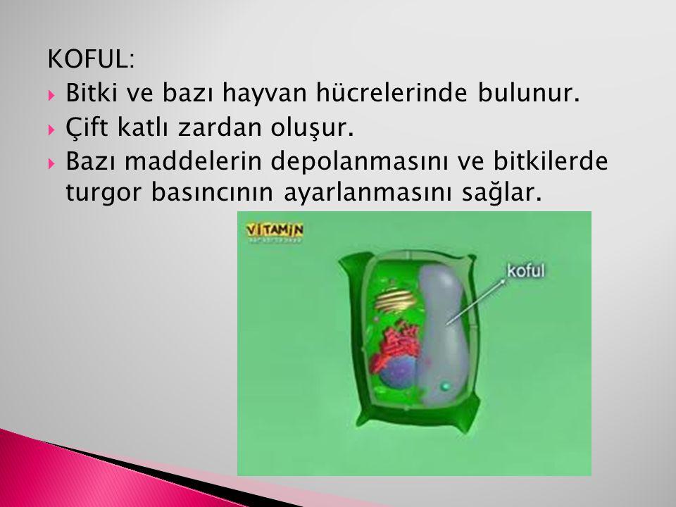 KOFUL:  Bitki ve bazı hayvan hücrelerinde bulunur.  Çift katlı zardan oluşur.  Bazı maddelerin depolanmasını ve bitkilerde turgor basıncının ayarla