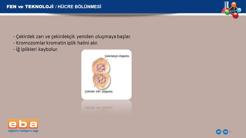 14 FEN ve TEKNOLOJİ / HÜCRE BÖLÜNMESİ - Çekirdek zarı ve çekirdekçik yeniden oluşmaya başlar. - Kromozomlar kromatin iplik halini alır. - İğ iplikleri