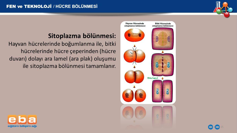 15 FEN ve TEKNOLOJİ / HÜCRE BÖLÜNMESİ Sitoplazma bölünmesi: Hayvan hücrelerinde boğumlanma ile, bitki hücrelerinde hücre çeperinden (hücre duvarı) dol