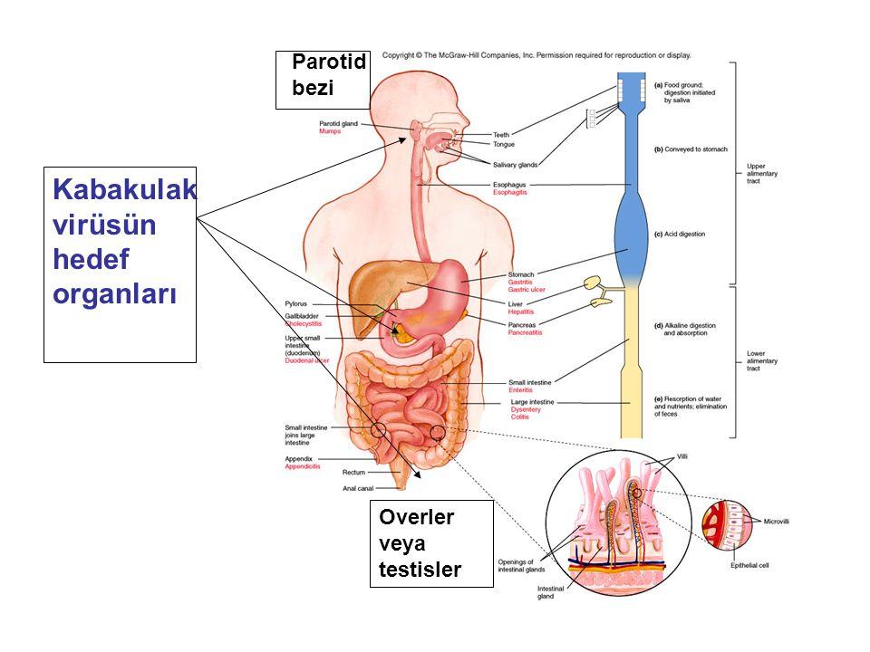 Kabakulak virüsün hedef organları Overler veya testisler Parotid bezi