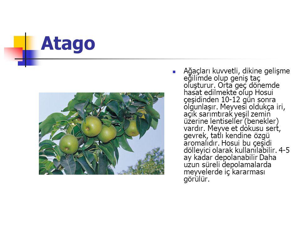 Atago Ağaçları kuvvetli, dikine gelişme eğilimde olup geniş taç oluşturur.