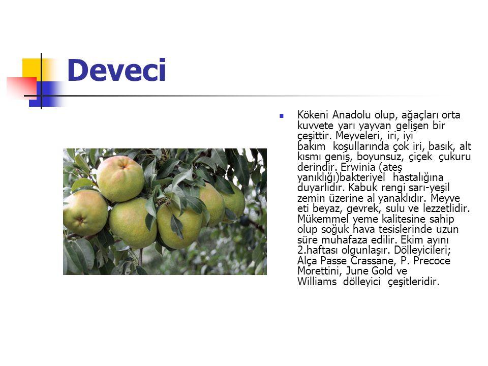 Deveci Kökeni Anadolu olup, ağaçları orta kuvvete yarı yayvan gelişen bir çeşittir.