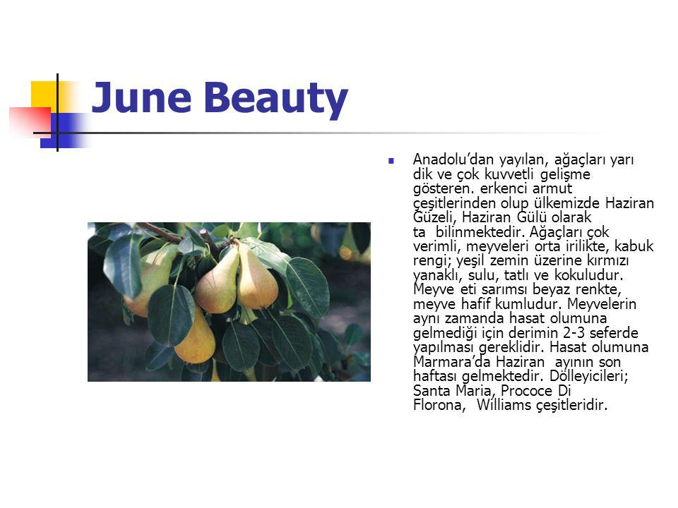 June Beauty Anadolu'dan yayılan, ağaçları yarı dik ve çok kuvvetli gelişme gösteren.