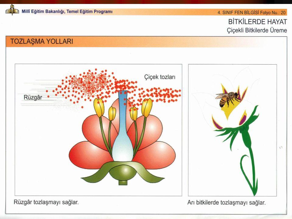 DÖLLENME DÖLLENME Tozlaşma ile dişi organın tepeciğine konan polen, buradaki nemli ve yapışkan sıvıya tutunur ve polenin dış gömleği açılır.