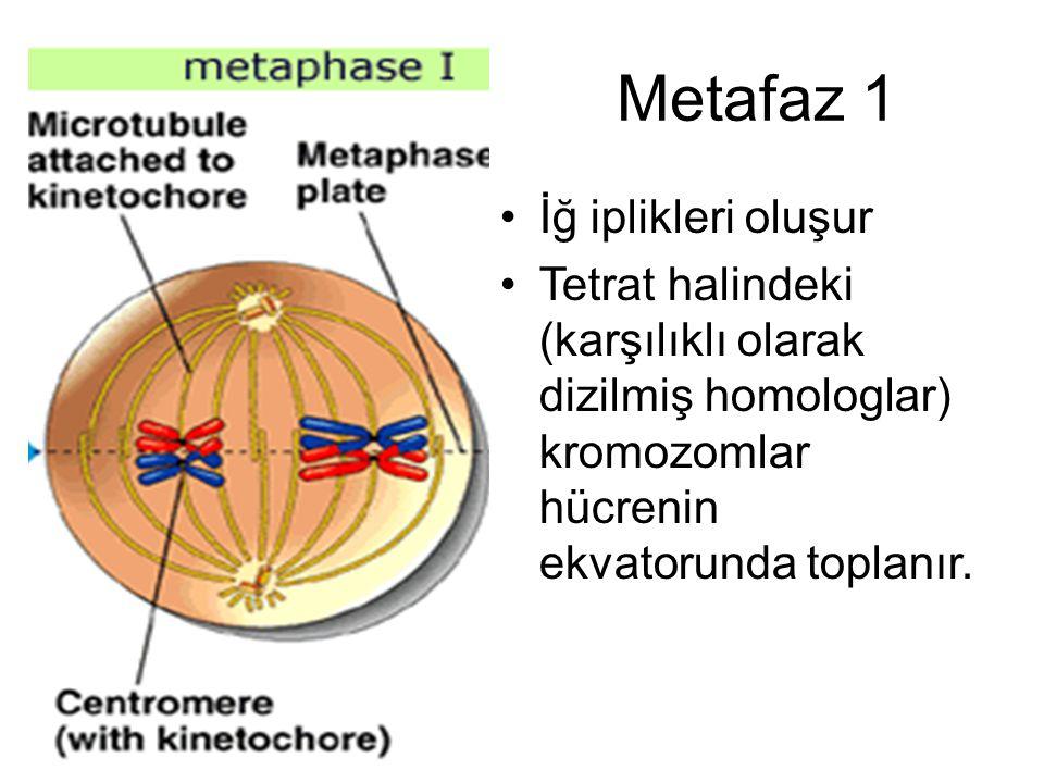 Metafaz 1 İğ iplikleri oluşur Tetrat halindeki (karşılıklı olarak dizilmiş homologlar) kromozomlar hücrenin ekvatorunda toplanır.