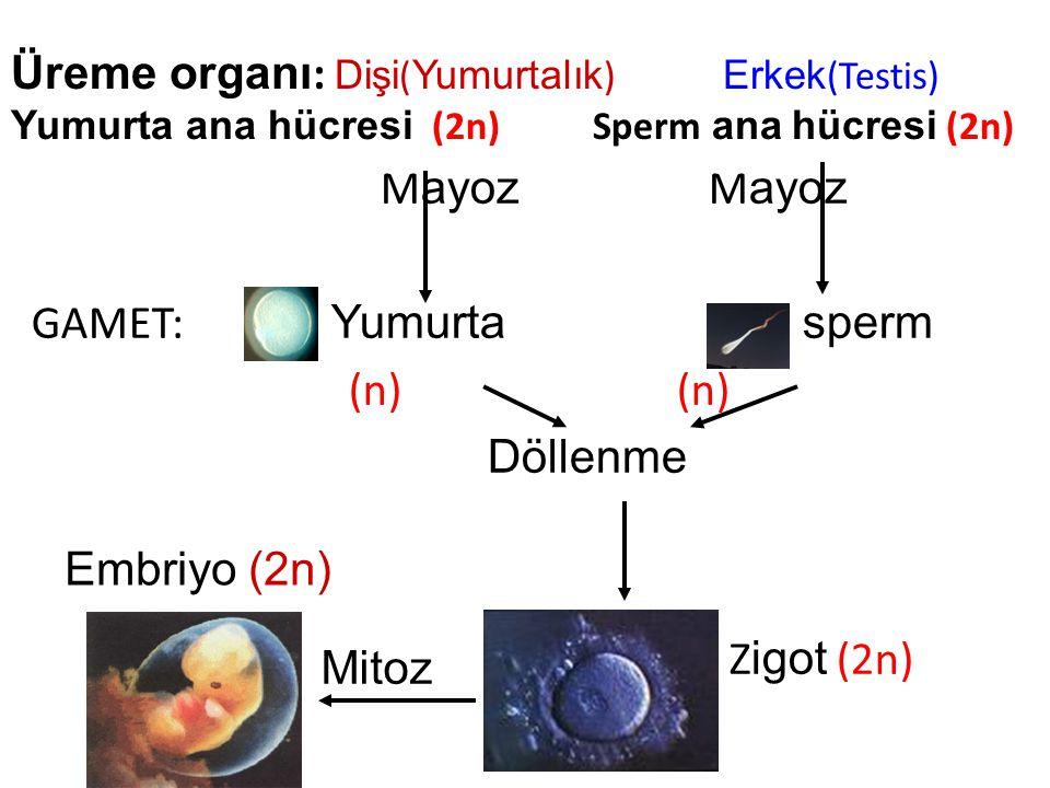 Üreme organı : Dişi ( Yumurtalık ) Erkek (Testis) Yumurta ana hücresi (2n) Sperm ana hücresi (2n) M ayoz M ayoz GAMET: Yumurta sperm (n) (n) Döllenme Z igot (2n) Embriyo (2n) Mitoz