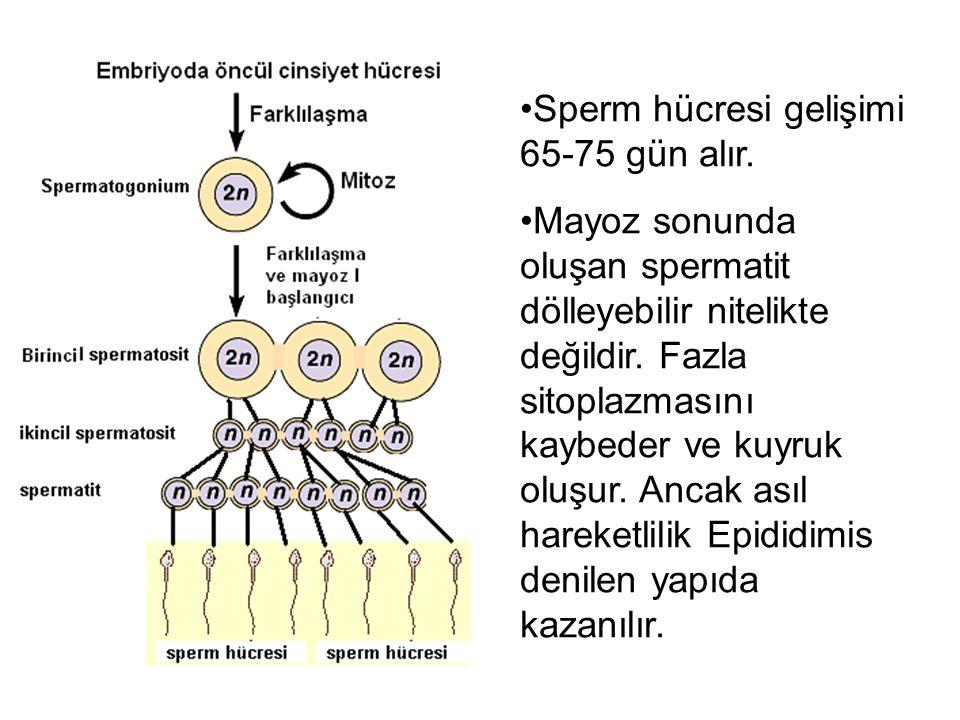 Sperm hücresi gelişimi 65-75 gün alır.