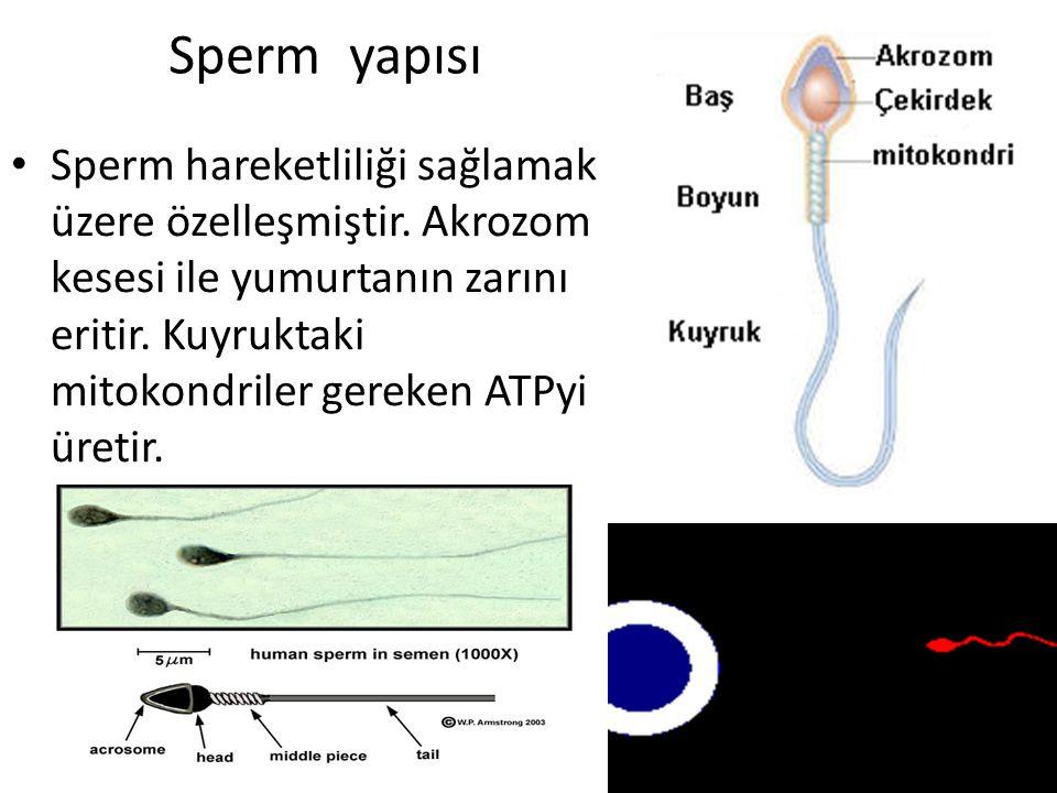 Sperm yapısı Sperm hareketliliği sağlamak üzere özelleşmiştir.