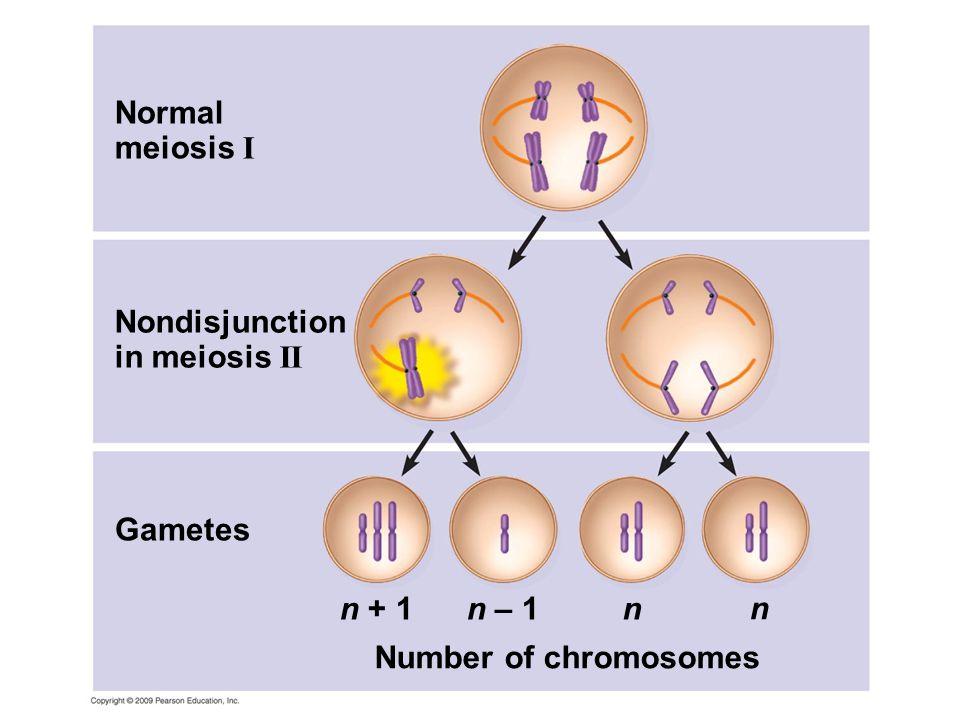 Nondisjunction in meiosis II Normal meiosis I Gametes Number of chromosomes n + 1n – 1n n