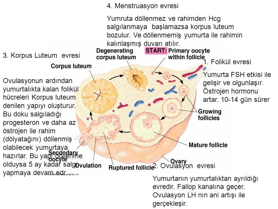 1.Folikül evresi Yumurta FSH etkisi ile gelişir ve olgunlaşır.