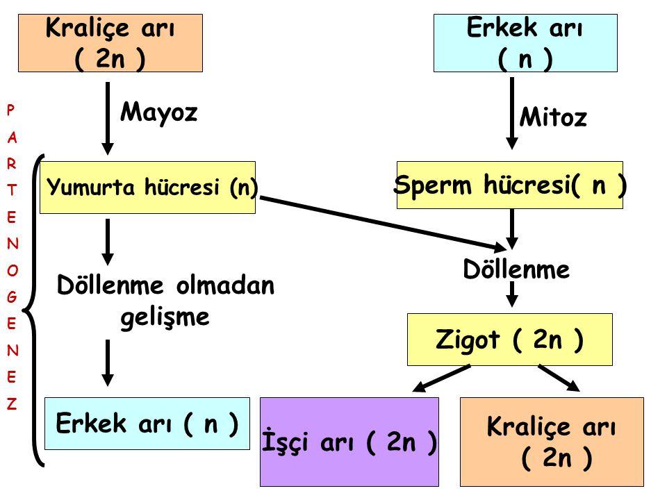 Kraliçe arı ( 2n ) Mayoz Yumurta hücresi (n) Döllenme olmadan gelişme Erkek arı ( n ) PARTENOGENEZPARTENOGENEZ Erkek arı ( n ) Mitoz Sperm hücresi( n ) Döllenme Zigot ( 2n ) İşçi arı ( 2n ) Kraliçe arı ( 2n )