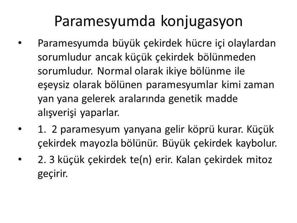 Paramesyumda konjugasyon Paramesyumda büyük çekirdek hücre içi olaylardan sorumludur ancak küçük çekirdek bölünmeden sorumludur.