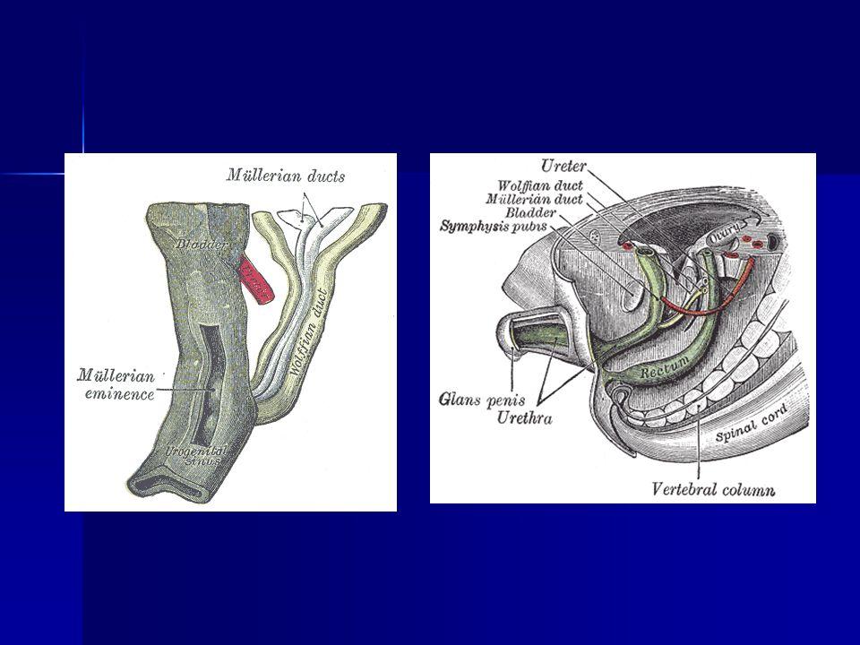 İntrauterin Sineşiler Travma dışı: Postpartum Postpartum Postabortum Postabortum Genital tüberküloz (en ağır formudur) Genital tüberküloz (en ağır formudur)