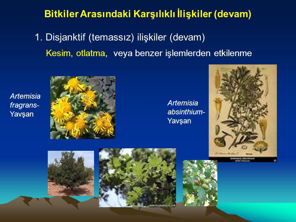 Bitkiler Arasındaki Karşılıklı İlişkiler (devam) 1.Disjanktif (temassız) ilişkiler (devam) Kesim, otlatma, veya benzer işlemlerden etkilenme Artemisia