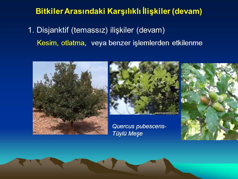 Bitkiler Arasındaki Karşılıklı İlişkiler (devam) 1.Disjanktif (temassız) ilişkiler (devam) Kesim, otlatma, veya benzer işlemlerden etkilenme Quercus p