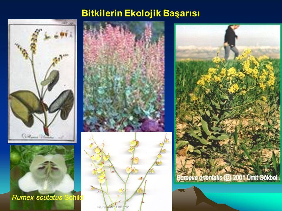 Bitkilerin Ekolojik Başarısı Rumex scutatus Schild