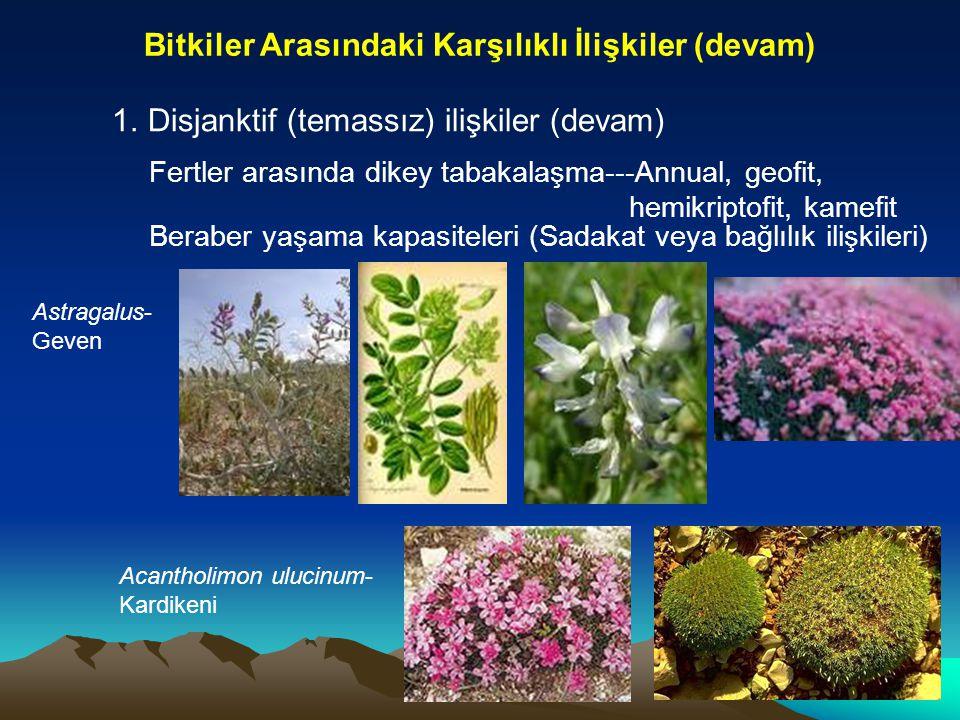 Bitkiler Arasındaki Karşılıklı İlişkiler (devam) 1.Disjanktif (temassız) ilişkiler (devam) Fertler arasında dikey tabakalaşma---Annual, geofit, hemikr