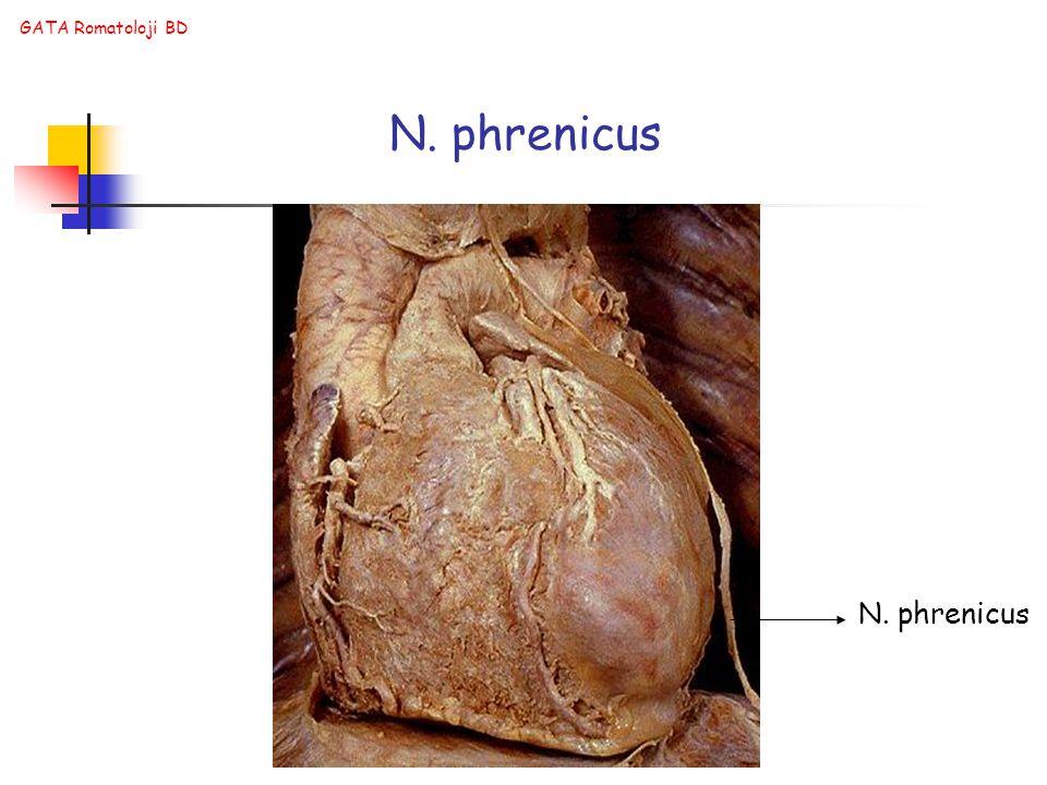 GATA Romatoloji BD N. phrenicus