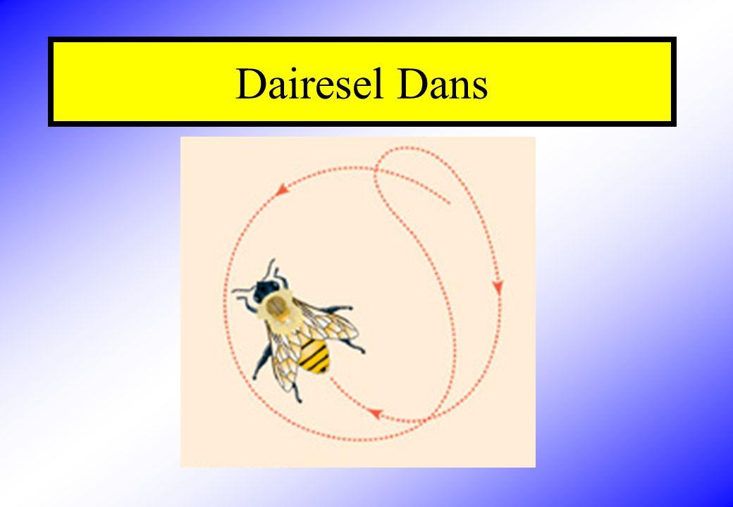 Kuyruk Sallama Dansı Bal arıları kovana 100 m.den daha fazla uzaklıkta kadar olan besin kaynaklarını koloninin diğer bireylerine bildirmek için petek üzerinde Kuyruk Sallama Dansı yapar.