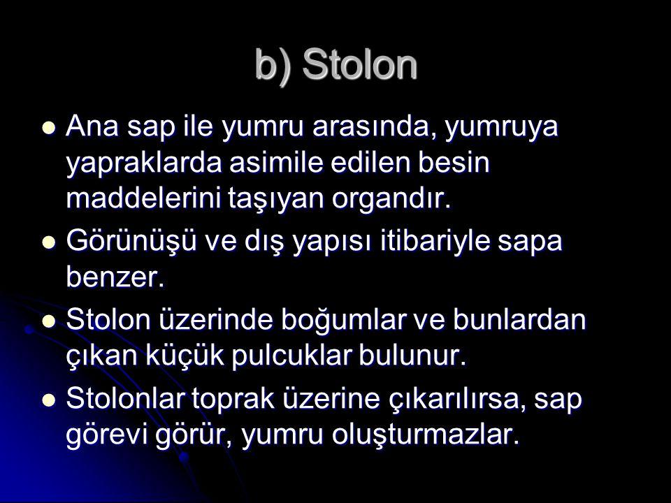 b) Stolon Ana sap ile yumru arasında, yumruya yapraklarda asimile edilen besin maddelerini taşıyan organdır. Ana sap ile yumru arasında, yumruya yapra