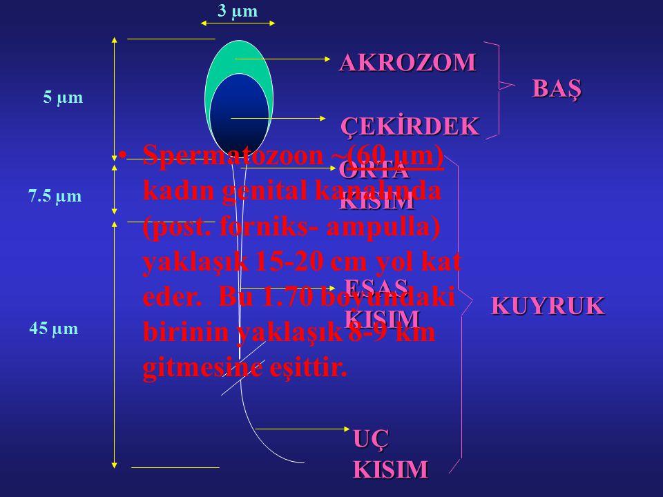 AKROZOM ÇEKİRDEK ORTAKISIM ESASKISIM UÇKISIM KUYRUK 5 µm 45 µm 7.5 µm 3 µm BAŞ Spermatozoon ~(60 μm) kadın genital kanalında (post. forniks- ampulla)