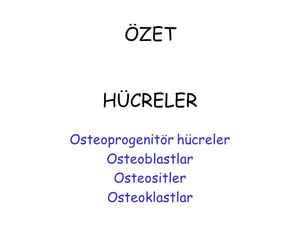 ÖZET HÜCRELER Osteoprogenitör hücreler Osteoblastlar Osteositler Osteoklastlar