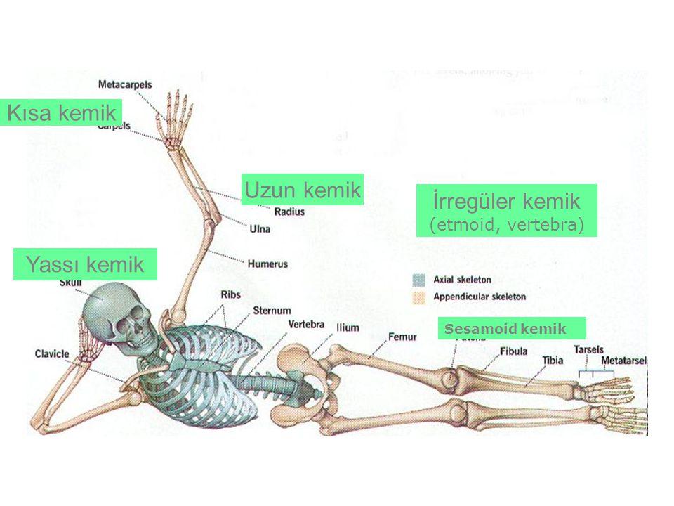 Uzun kemik Kısa kemik Yassı kemik İrregüler kemik (etmoid, vertebra) Sesamoid kemik