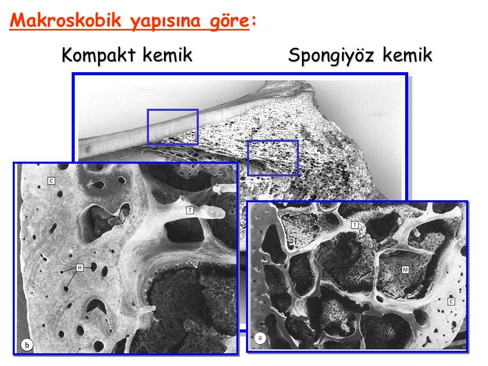 Makroskobik yapısına göre: Kompakt kemik Spongiyöz kemik