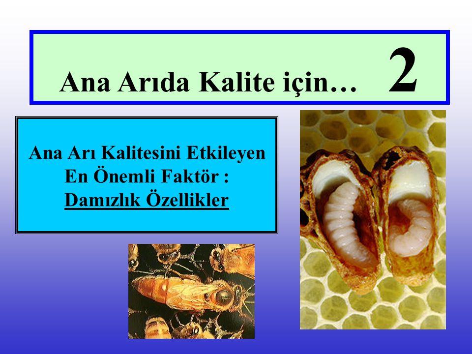 Ana Arı Kalitesini Etkileyen En Önemli Faktör : Damızlık Özellikler Ana Arıda Kalite için… 2