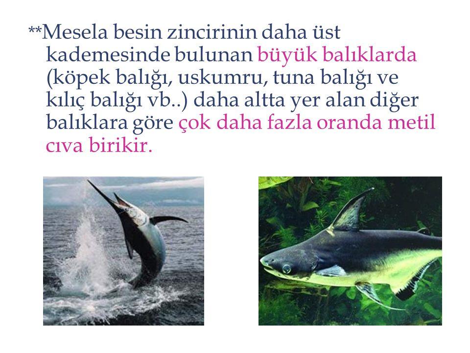 ** Mesela besin zincirinin daha üst kademesinde bulunan büyük balıklarda (köpek balığı, uskumru, tuna balığı ve kılıç balığı vb..) daha altta yer alan