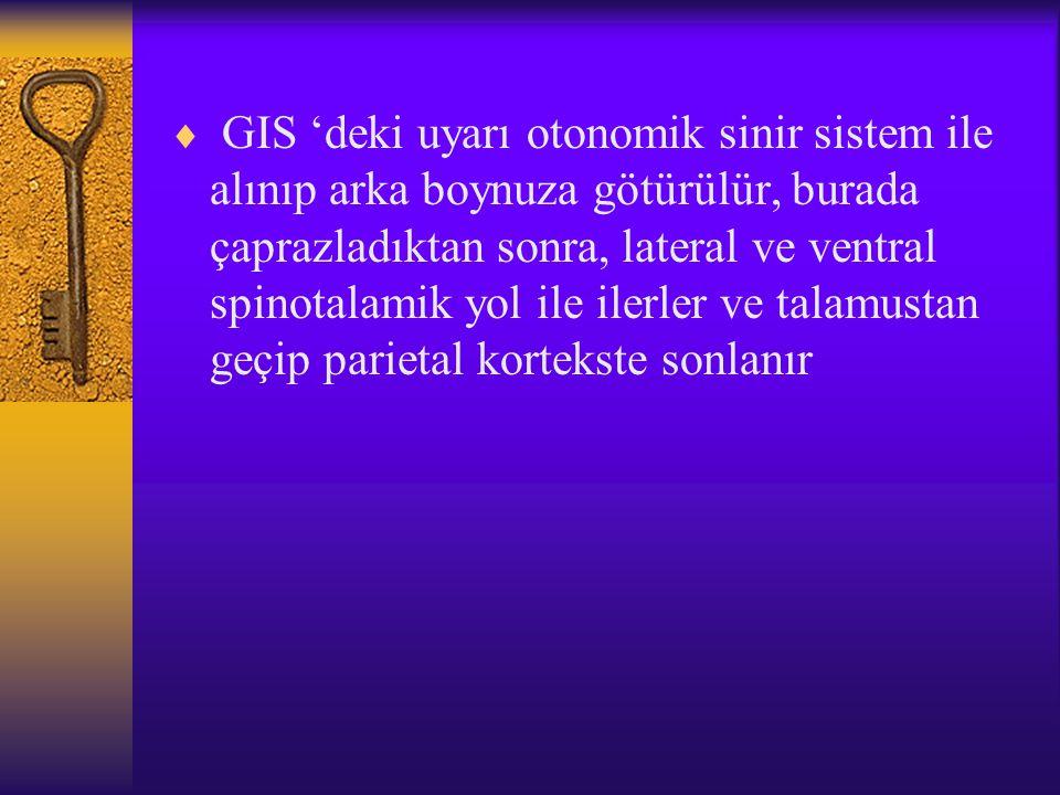  GIS 'deki uyarı otonomik sinir sistem ile alınıp arka boynuza götürülür, burada çaprazladıktan sonra, lateral ve ventral spinotalamik yol ile ilerler ve talamustan geçip parietal kortekste sonlanır