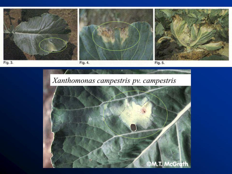 Xanthomonas campestris pv. campestris