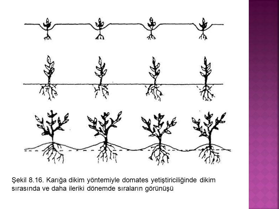 Şekil 8.16. Karığa dikim yöntemiyle domates yetiştiriciliğinde dikim sırasında ve daha ileriki dönemde sıraların görünüşü