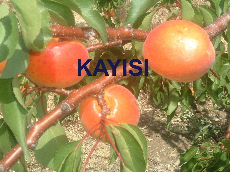 KAYISI