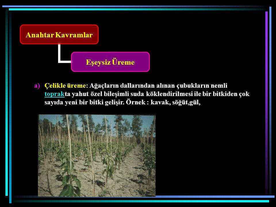 Anahtar Kavramlar Eşeysiz Üreme a)Çelikle üreme: Ağaçların dallarından alınan çubukların nemli toprakta yahut özel bileşimli suda köklendirilmesi ile bir bitkiden çok sayıda yeni bir bitki gelişir.