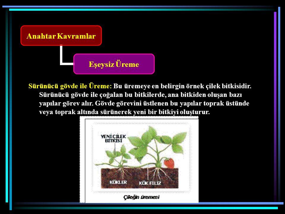 Anahtar Kavramlar Eşeysiz Üreme Sürünücü gövde ile Üreme: Bu üremeye en belirgin örnek çilek bitkisidir.
