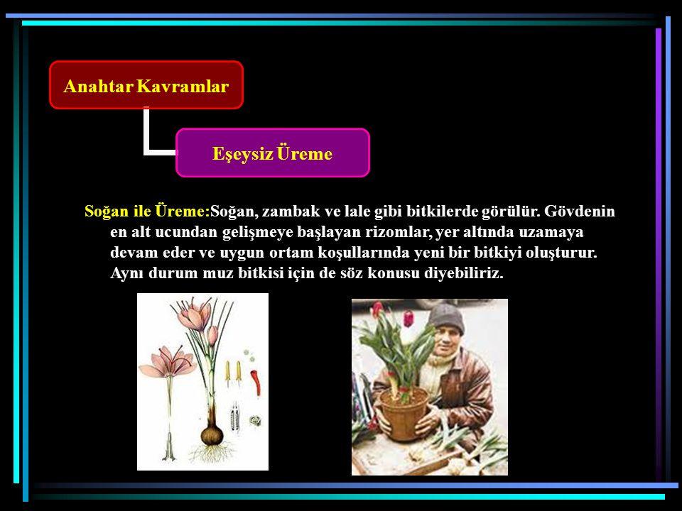 Anahtar Kavramlar Eşeysiz Üreme Soğan ile Üreme:Soğan, zambak ve lale gibi bitkilerde görülür.