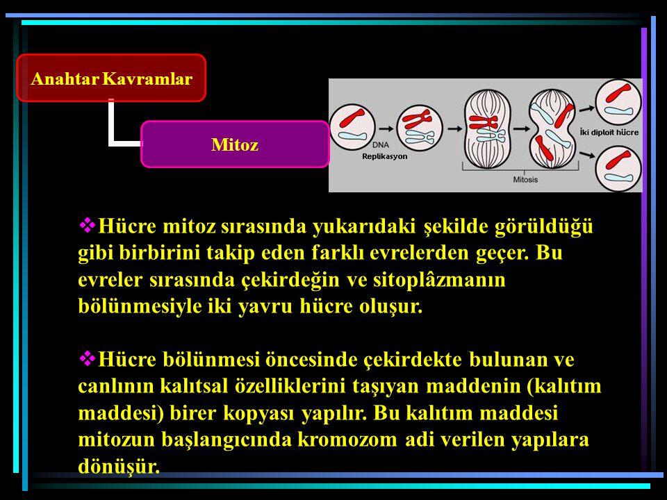Anahtar Kavramlar Mitoz  Hücre mitoz sırasında yukarıdaki şekilde görüldüğü gibi birbirini takip eden farklı evrelerden geçer.