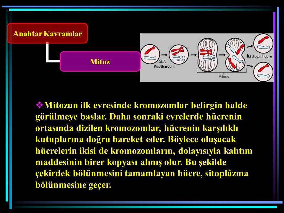 Anahtar Kavramlar Mitoz  Mitozun ilk evresinde kromozomlar belirgin halde görülmeye baslar.