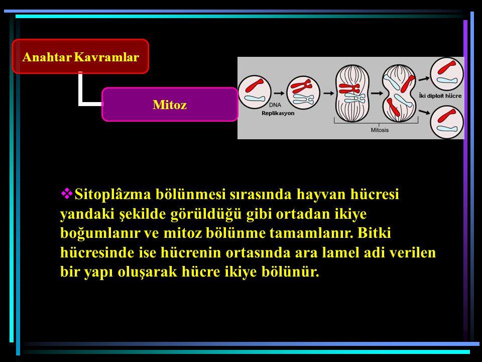 Anahtar Kavramlar Mitoz  Sitoplâzma bölünmesi sırasında hayvan hücresi yandaki şekilde görüldüğü gibi ortadan ikiye boğumlanır ve mitoz bölünme tamamlanır.