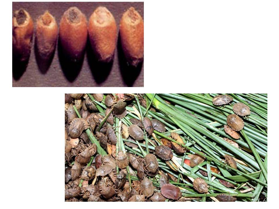İlkbaharda hububat tarlalarına göç eden kışlamış süneler, kardeşlenme döneminde hububat saplarını emerek sararmalarına ve kurumalarına neden olur.