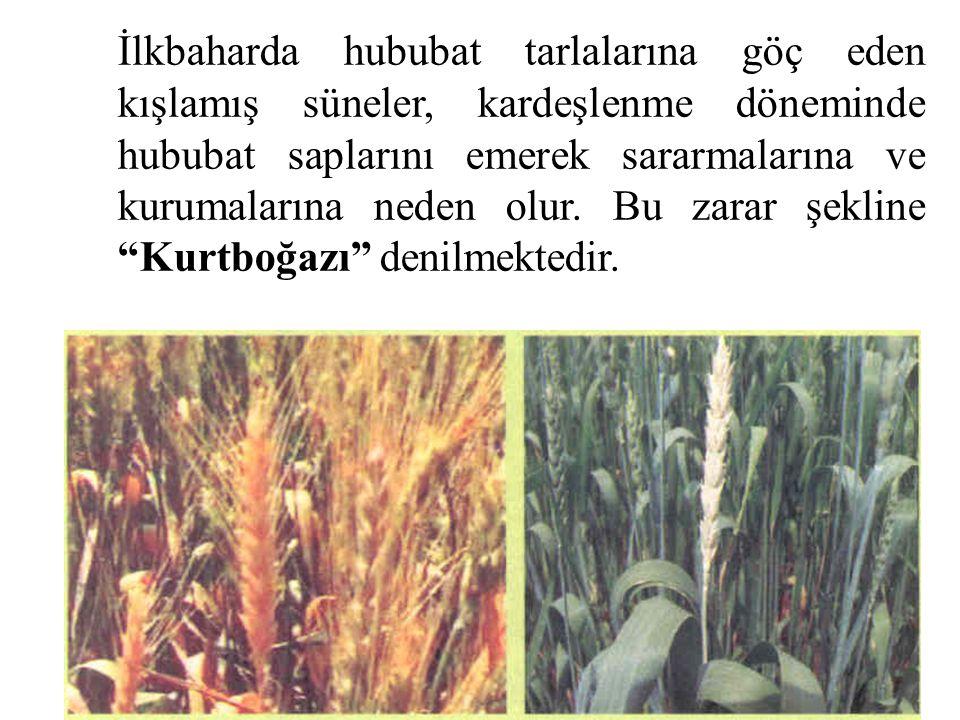 İlkbaharda hububat tarlalarına göç eden kışlamış süneler, kardeşlenme döneminde hububat saplarını emerek sararmalarına ve kurumalarına neden olur. Bu
