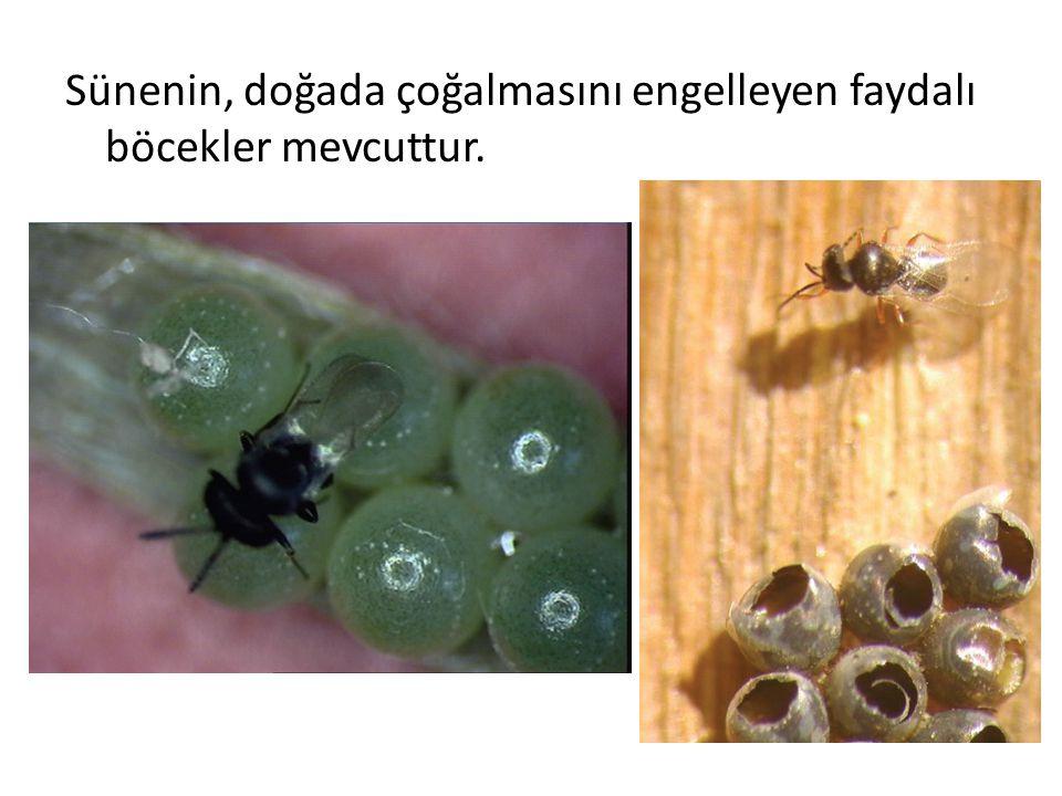 Sünenin, doğada çoğalmasını engelleyen faydalı böcekler mevcuttur.