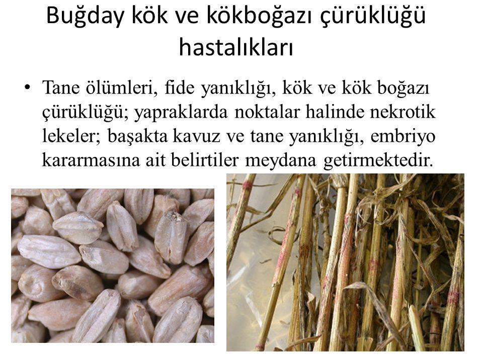 Buğday kök ve kökboğazı çürüklüğü hastalıkları Tane ölümleri, fide yanıklığı, kök ve kök boğazı çürüklüğü; yapraklarda noktalar halinde nekrotik lekel