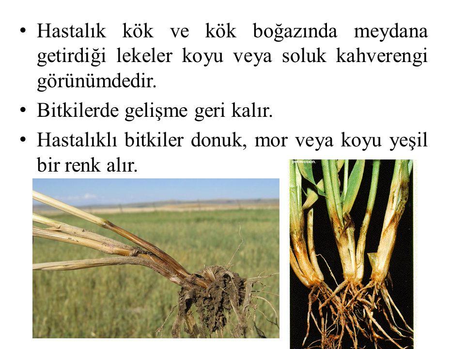 Hastalık kök ve kök boğazında meydana getirdiği lekeler koyu veya soluk kahverengi görünümdedir. Bitkilerde gelişme geri kalır. Hastalıklı bitkiler do