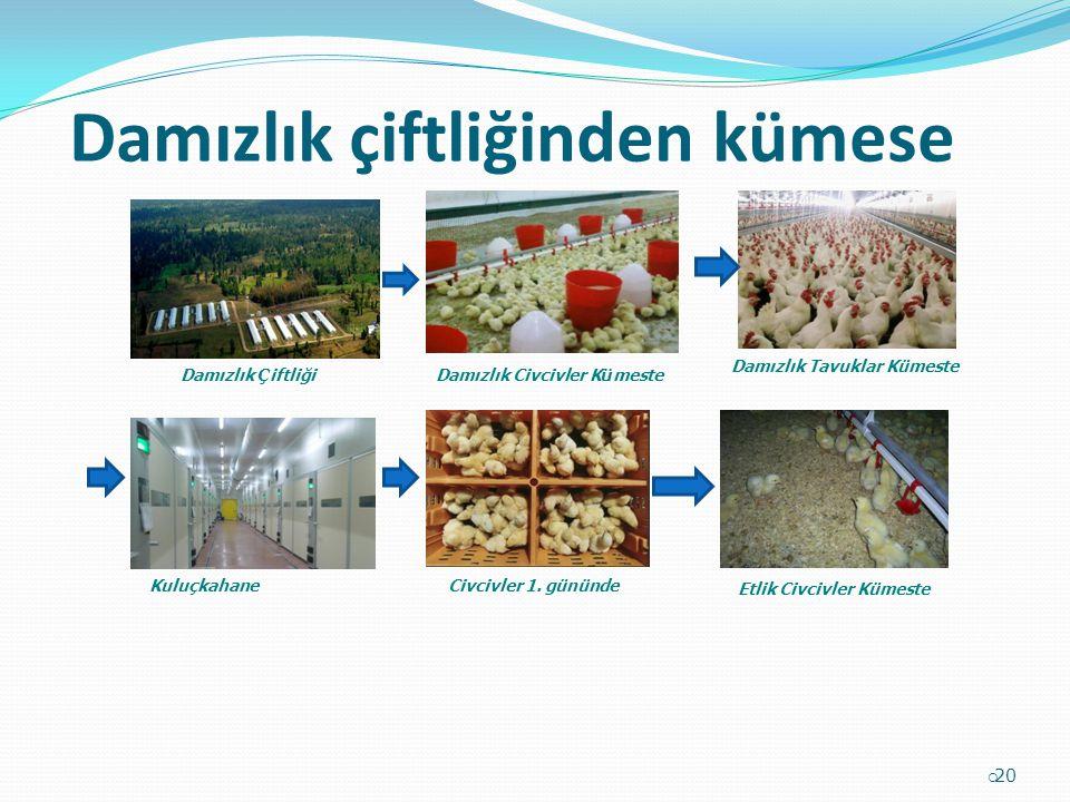 Damızlık çiftliğinden kümese  20 Damızlık Ç iftliğiDamızlık Civcivler K ü meste Damızlık Tavuklar Kümeste Kuluçkahane Etlik Civcivler Kümeste Civcivl