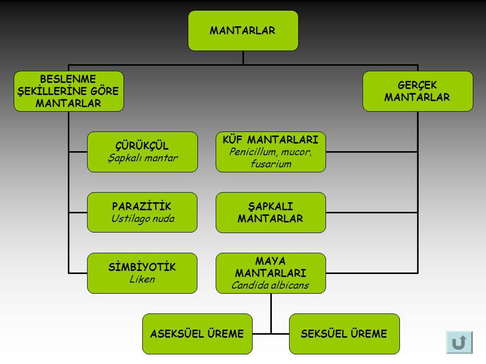 MANTARLAR BESLENME ŞEKİLLERİNE GÖRE MANTARLAR ÇÜRÜKÇÜL Şapkalı mantar PARAZİTİK Ustilago nuda SİMBİYOTİK Liken GERÇEK MANTARLAR KÜF MANTARLARI Penicil